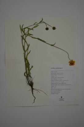 Gaillardia aristata (brown eyed susan)