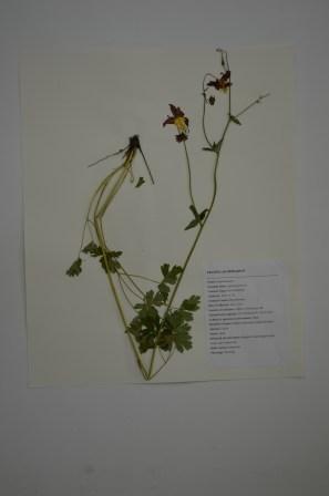 Aquilegia formosa (red columbine)