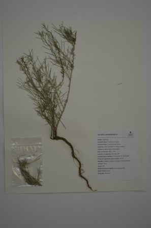 Ericameria nauseosa (coomon rabbit brush)
