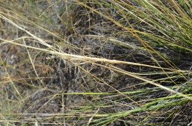 Hesperostipa comata (Needle and thread grass)