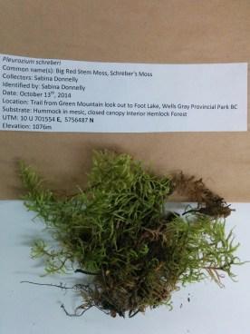 Pleurozium schreberi (Big Red Stem Moss; Schreber's Moss)