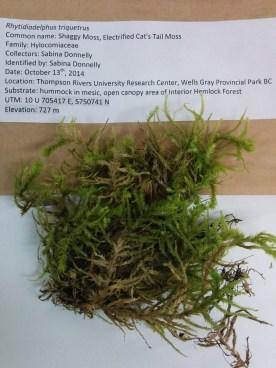 Rhytidiadelphus triquetrus (Shaggy Moss; Electrified Cat's Moss)