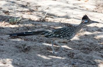 Grand Geocoucou (Geococcyx californianus)-13
