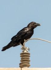 grand Corbeau (Corvus corax)-115
