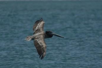 Pelican Brun (Pelecanus occidentalis)-88