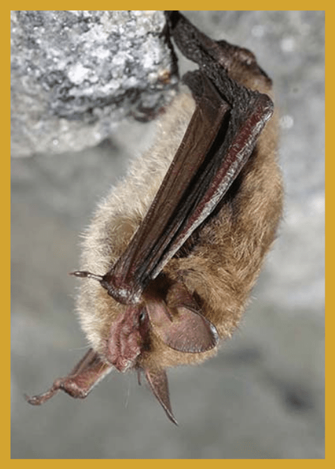 Bat Conservation & Management