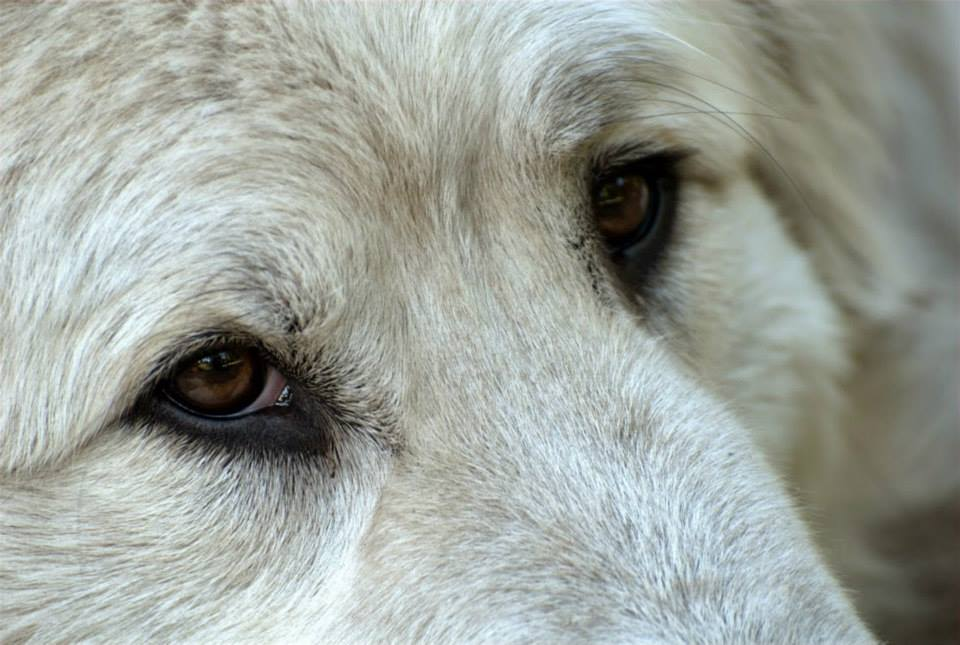 """""""LET'S GO!"""" – A Fire Plan for Livestock Guardian Dogs"""