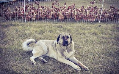 """Kapsali Farm"" – A Successful ""Repurposing"" of a Livestock Guardian Dog, Case Study"