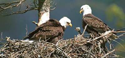 "Patricia Barber – ""Pennsylvania's Bald Eagles"""
