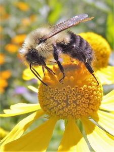 Pollinators in Our Gardens: Featuring Native Bees of LGNC