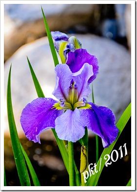 DSC_2441-(2)purple-iris