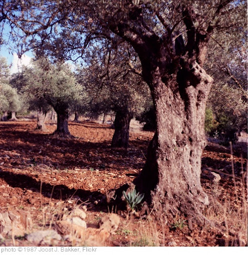 'olive trees near mount hermon' photo (c) 1987, Joost J. Bakker - license: http://creativecommons.org/licenses/by/2.0/