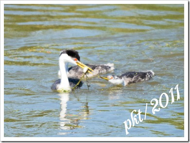 DSC_1423-(2)mama-grebe-with-fish