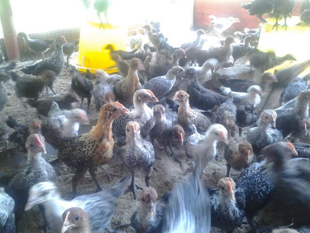 Aku Penjual Ayam Gambar Anak ayam kampung sy