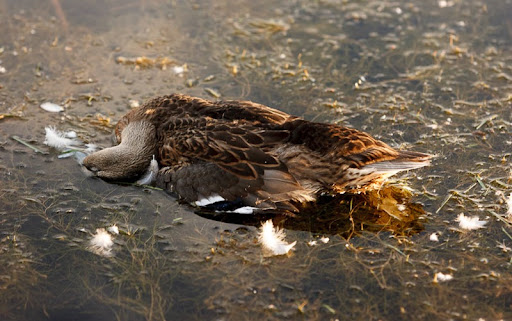 A number of dead ducks were found in the pond at Sugar House Park in Salt Lake City, Utah Saturday, August 4, 2012.