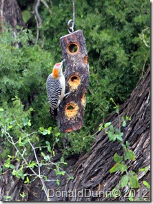 Golden-fronted woodpecker (Melanerpes aurifrons), Bentsen RGV State Park, Mission, TX
