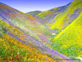 Carrizo Plain flowers
