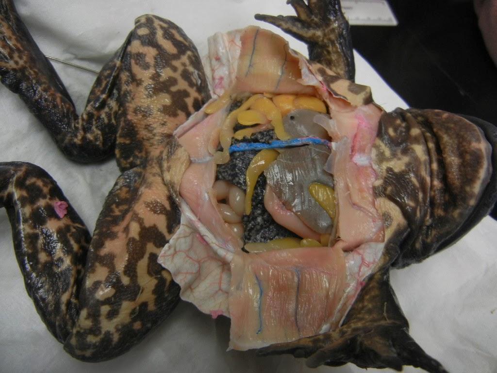 Bullfrog Abdominal Cavity