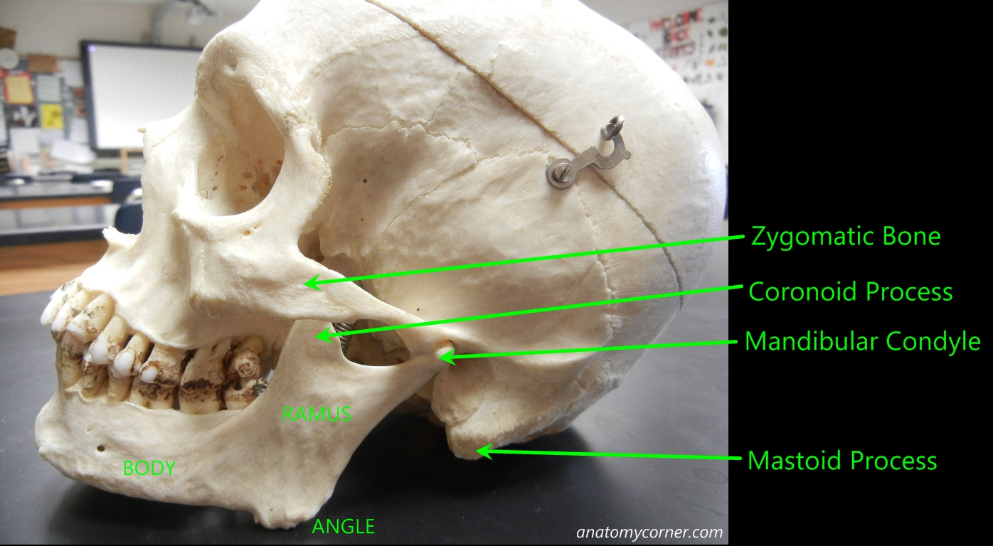 Skull Mandible Labeled