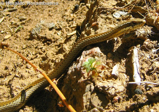 Culebra de cola larga (Philodryas chamissonis)