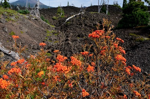 mountain ash growing out of the lava flow