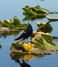 blackbirds on the wocus at Recreation Creek
