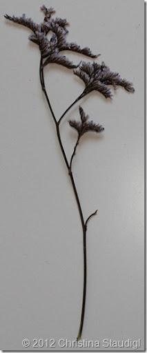 Strandflieder - Limonium vulgare; Überschüssiges Salz scheidet die Pflanze über Drüsen am Stängel aus. Daher findet man an der Pflanze viele kleine Salzkristalle