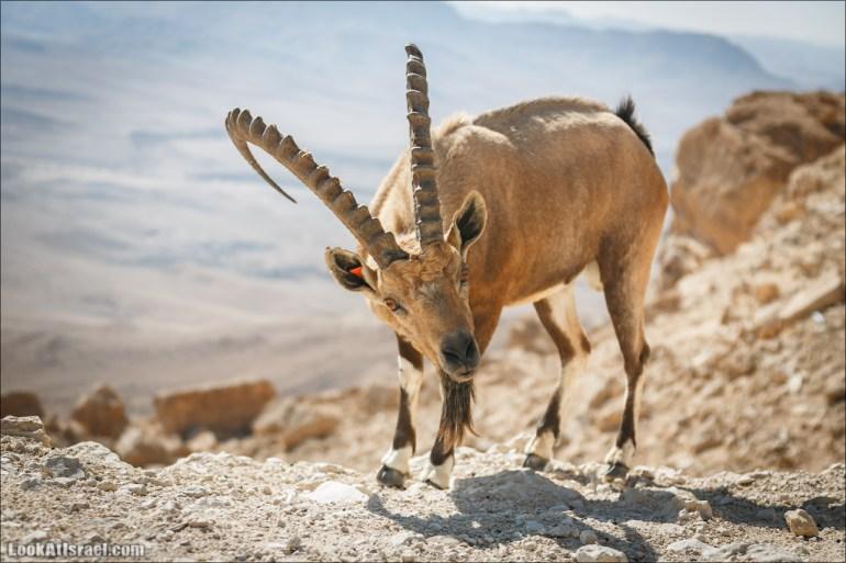 Ибексы на смотровой площадке в Мицпе Рамон   Сapra ibex nubian, Mitspe Ramon   LookAtIsrael.com - Фото путешествия по Израилю