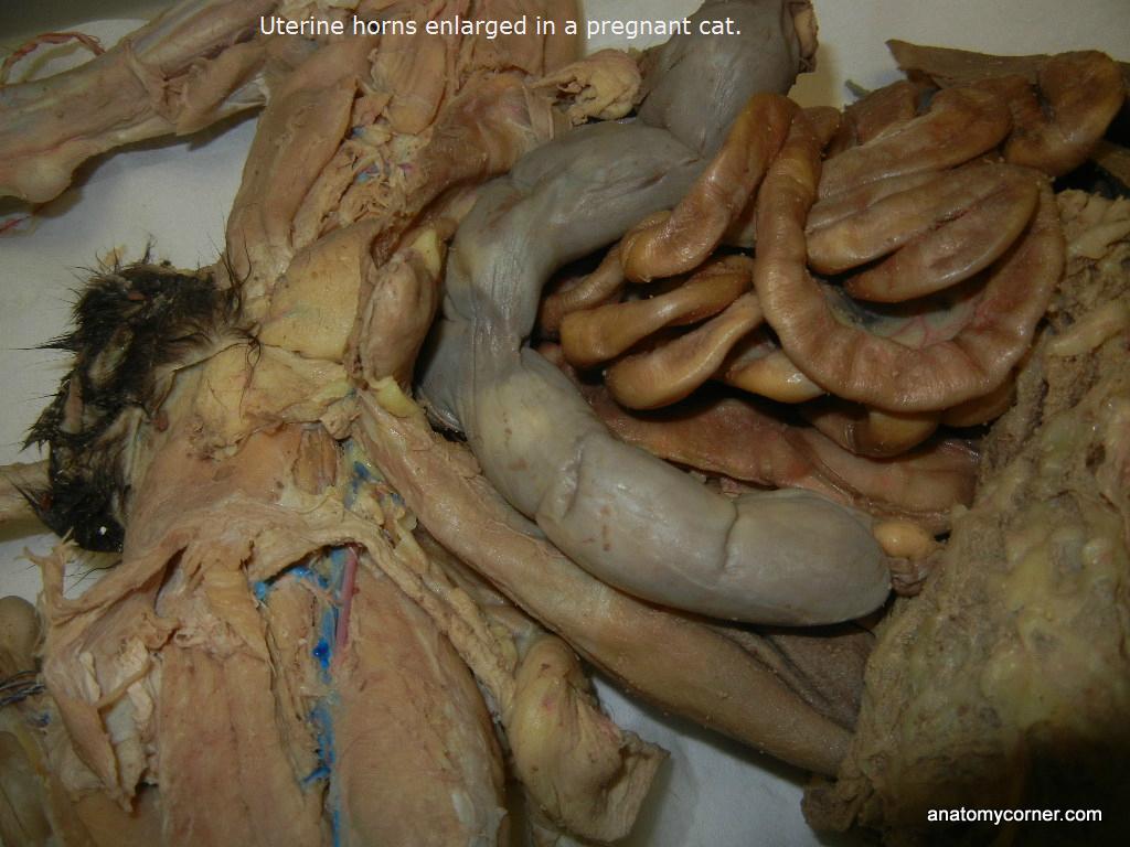 Uterine Horns L