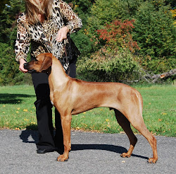 Revodana's Manhattan's Transfer puppy male V3.JPG