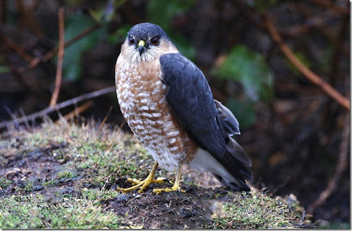photoshare Peregrine Falcon Gold Beach OR quickeye