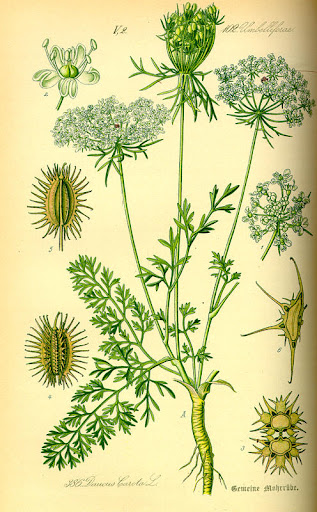 Daucus carota, flora de alemania, Austria y suixa.jpg