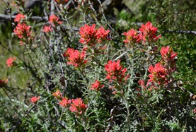 Indian paintbrush on the Rim Trail