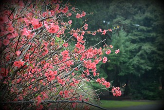 blooming quince at Richardson Grove CG
