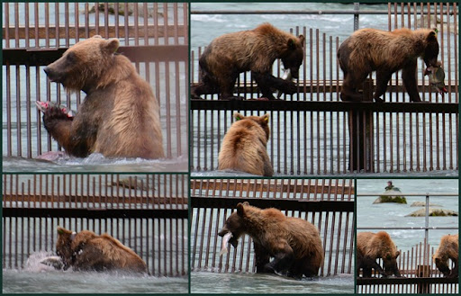Bears at Haines1
