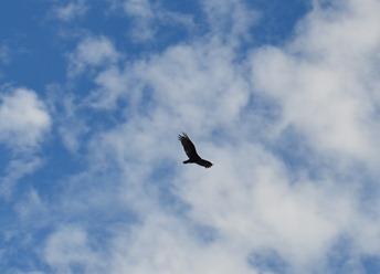 condor or buzzard?