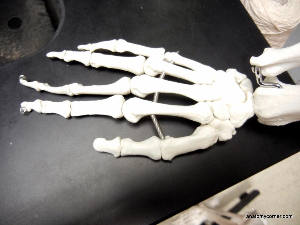 Hand Metacarpals Unlabeled