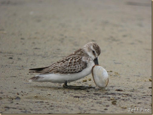 sandpiper with clam stuck_013