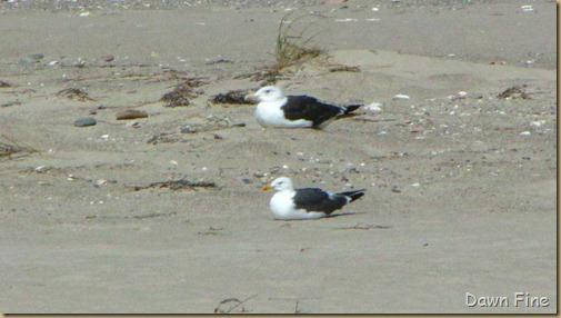 Birding south beach_062