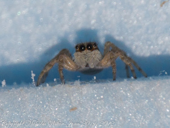 spanish jumping spider project