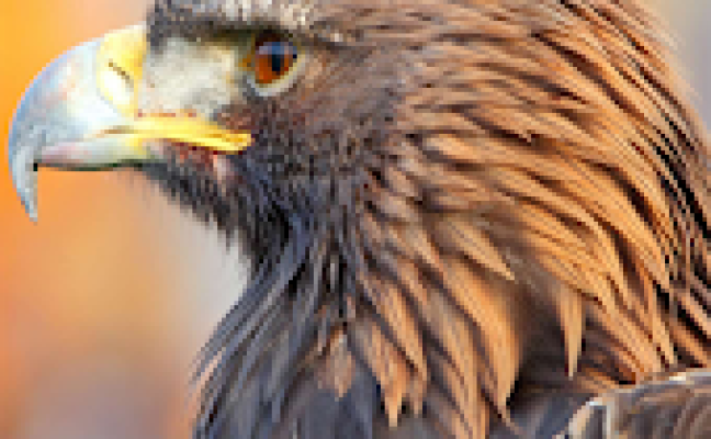 Bald Eagle Wallpaper Android Apps On Google Play