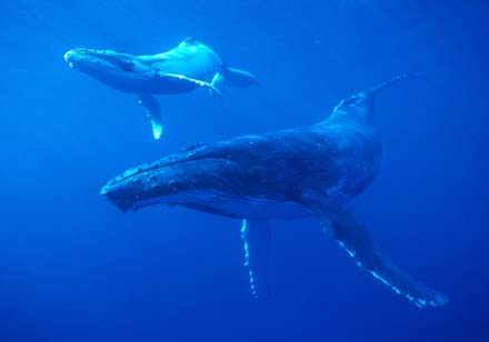 Gray whales migrating off the Californian coast