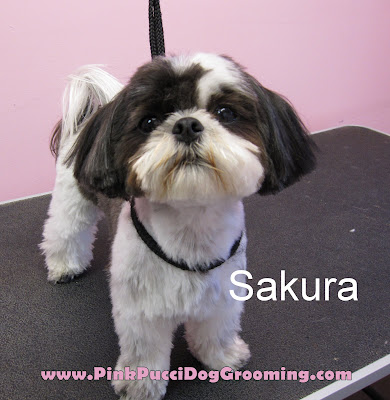 Sakura the Shitzu Maltese Mix