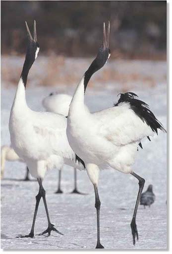 japanese crane birds