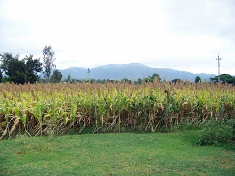 Bajra Plantation