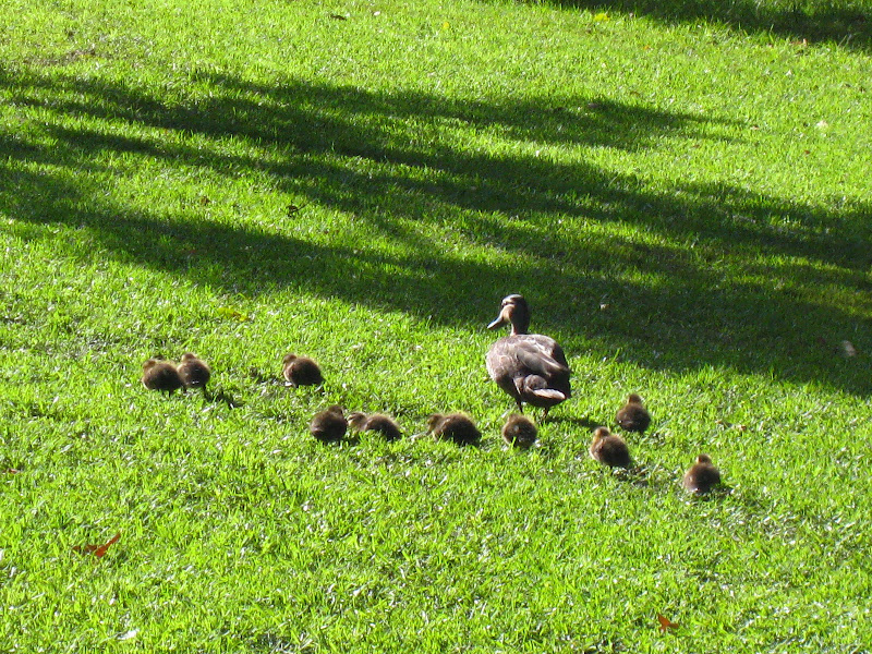 Ducklings waddle behind their mum.