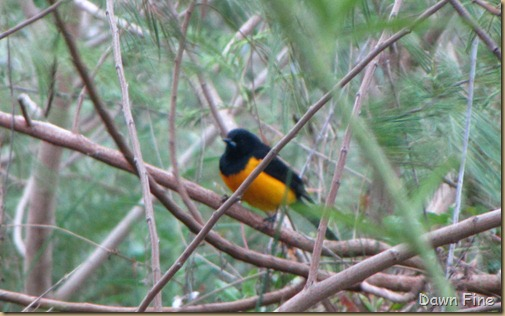 fallout birds padre island_100