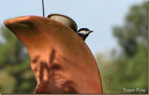 yard birding_032