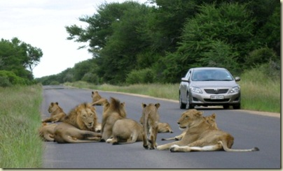 Lions Kruger National Park Mpumalanga South Africa