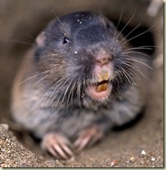 Northern Pocket Gopher